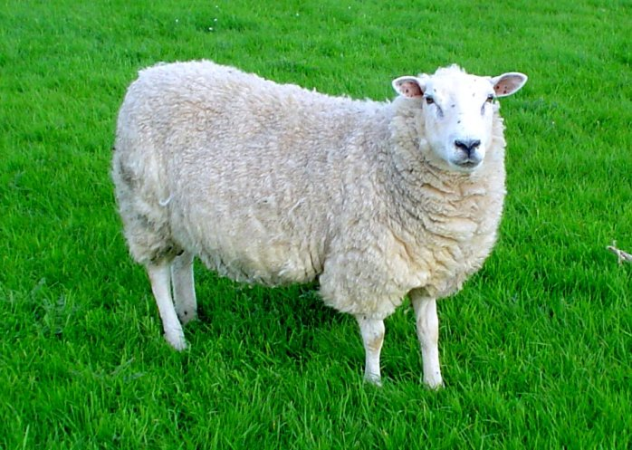 """Lleyn sheep"" by User:Jackhynes - Own work Cropped and tuned in Picasa.. Licensed under Public Domain via Wikimedia Commons - https://commons.wikimedia.org/wiki/File:Lleyn_sheep.jpg#/media/File:Lleyn_sheep.jpg"