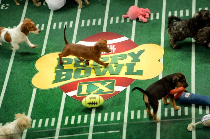 """Puppies participate in the taping of Animal Planet's """"Puppy Bowl IX"""" program on Nov. 11, 2012, in New York. The mock football game will air on Super Bowl Sunday. The puppies used in the show are from shelters and rescue organizations across the country. Illustrates PUPPYBOWL (category l), by Maura Judkis (c) 2013, The Washington Post. Moved Thursday, Jan. 3a, 2013. (MUST CREDIT: Washington Post photo by Linda Davidson)"""