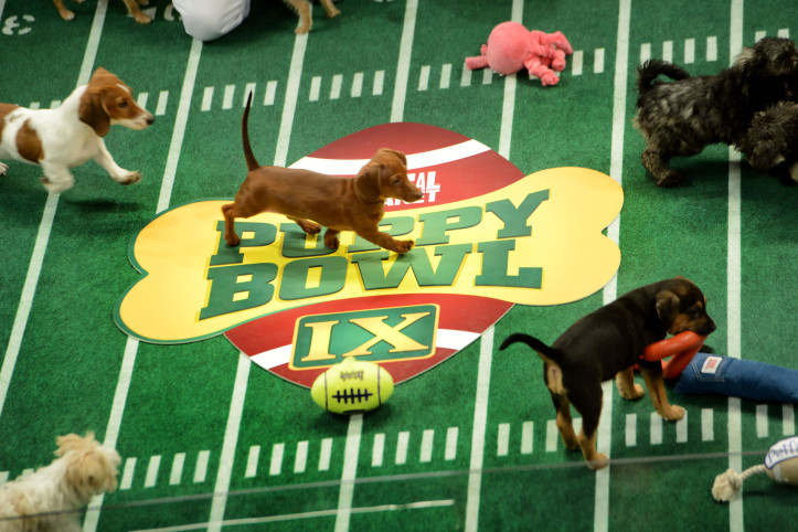 "Puppies participate in the taping of Animal Planet's ""Puppy Bowl IX"" program on Nov. 11, 2012, in New York. The mock football game will air on Super Bowl Sunday. The puppies used in the show are from shelters and rescue organizations across the country. Illustrates PUPPYBOWL (category l), by Maura Judkis (c) 2013, The Washington Post. Moved Thursday, Jan. 3a, 2013. (MUST CREDIT: Washington Post photo by Linda Davidson)"
